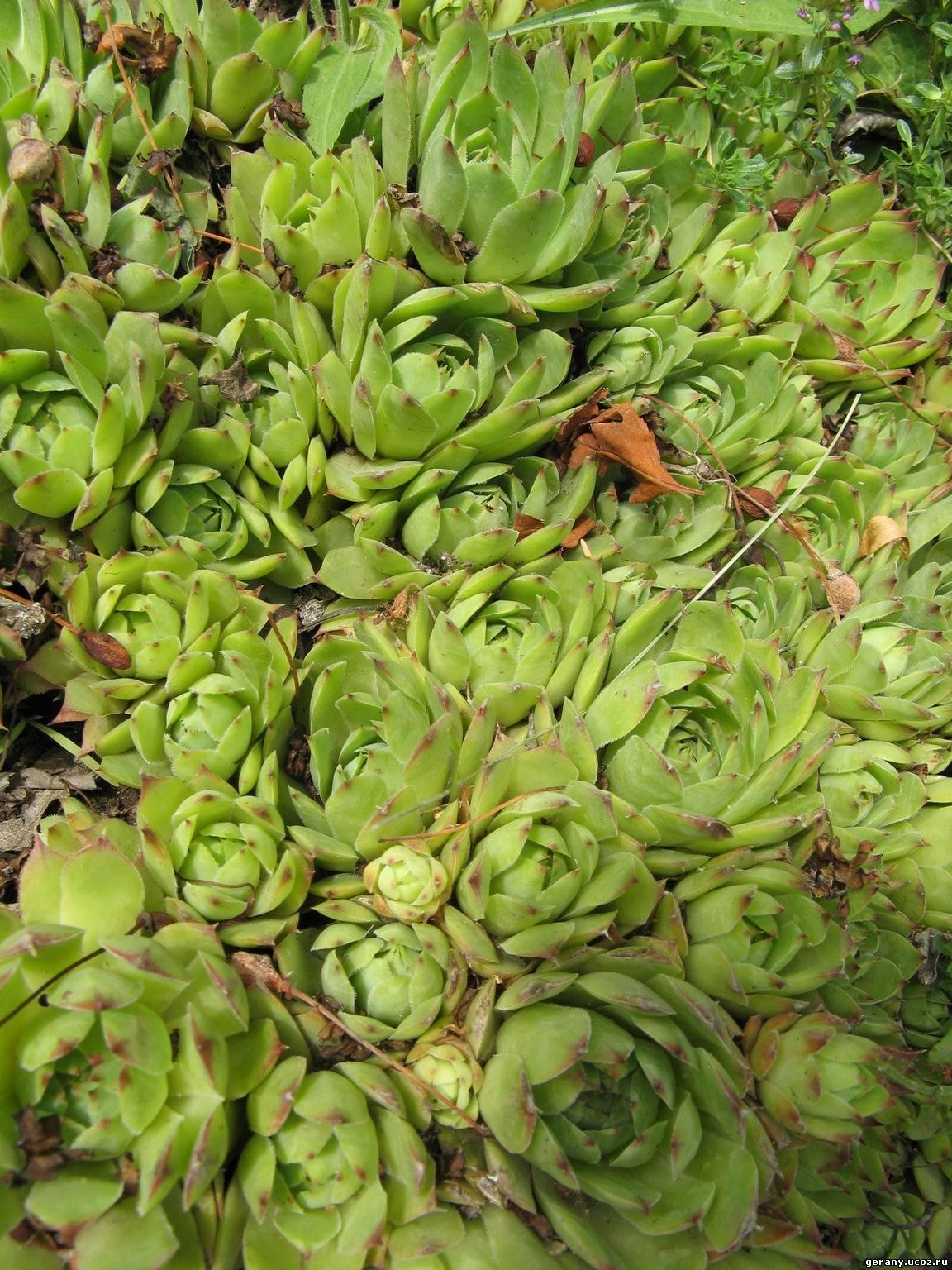 Садовая каменная роза цветок фото